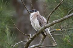 Noisy Friarbird-3947 (rawshorty) Tags: birds australia canberra act jerrabomberrawetlands rawshorty