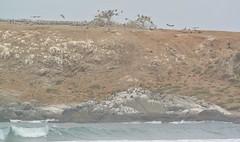 Seabirds - Humbolt Peguins, Pelicans and more (TravelEatPlayDo) Tags: ocean chile travel southamerica nature birds wildlife