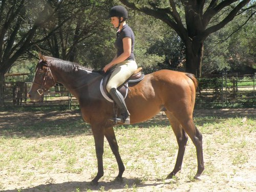 2010 Thoroughbred Gelding - Great Sport Horse Prospect