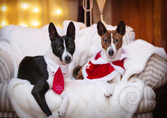 Merry Christmas! (jezandia) Tags: christmas dog basenji raisin reo thelittledoglaughed