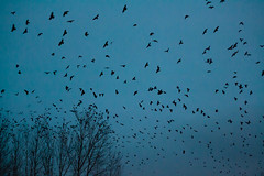 The Birds (Photon Juice) Tags: blue trees sky black nature birds silhouette night flying dusk crows