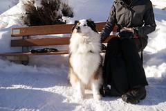 Dog of The Day 140115 (rockinbeat) Tags: dog snow switzerland zermatt aussie australianshepherd panansoniclumixdmcgm1