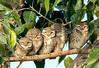 spotted owlet (TARIQ HAMEED SULEMANI) Tags: travel winter tourism nature colors birds trekking nikon tariq supershot d7100 concordians sulemani theperfectphotographer tariqhameedsulemani jahanian
