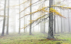 Ms Saldropo (Mimadeo) Tags: park wood morning autumn trees light mist color tree fall nature beautiful leaves yellow misty fog forest season landscape leaf haze colorful mood branch vibrant seasonal foggy vivid trunk hazy larch larches conifer vision:text=052 vision:outdoor=0915
