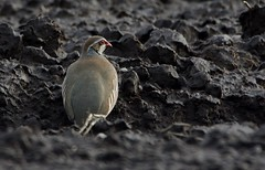 Red Legged Partridge. (stonefaction) Tags: red nature birds scotland angus farm wildlife partridge legged faved glamis linross
