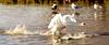 GET OUT OF MY WAY (chris .p) Tags: uk winter england water swan nikon ducks gloucestershire gb february wwt slimbridge wildfowl 2014 d7000 mygearandme