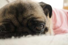 視線 (e_haya) Tags: eyes pug sonynex5
