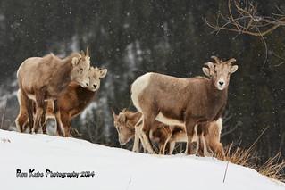 Bighorn Sheep DSC_4305