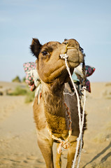 Camel Cheezin' (B.Bubble) Tags: travel india sand desert camel jaisalmer rajasthan portriat