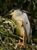 DSC_1872 (delarishi) Tags: bird heron nocturnal ardeidae nightheron nyctanassa nycticorax nightraven gorsachius