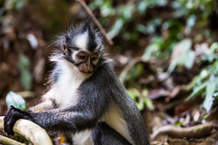 Thomas Leaf Monkey 4674 (Ursula in Aus) Tags: animal sumatra indonesia unesco bukitlawang gunungleusernationalpark earthasia sumatrangrizzledlangur thomasslangur presbytisthomasi thomasleafmonkey