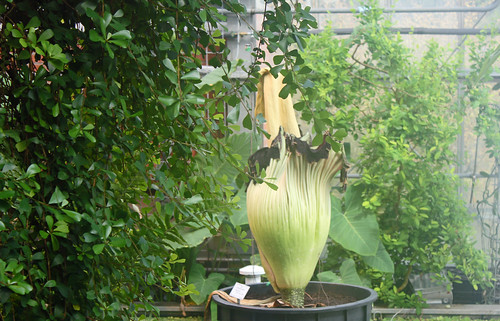 "Titanwurz (Amorphophallus titanum) (11) • <a style=""font-size:0.8em;"" href=""http://www.flickr.com/photos/69570948@N04/13934769666/"" target=""_blank"">View on Flickr</a>"