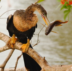 ZS0P4318 (Eileen Fonferko) Tags: nature birds animals fishing wildlife anhinga