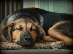 The other lazy puppy  ^___^ (Melacacia ) Tags: sleeping cute farmhouse puppy nose mix lab heart shepherd german porch