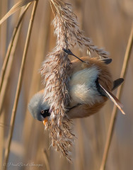 Male Beared Tit (budgiepaulbird) Tags: male birds reeds tits rspb beared lakenheathrspb