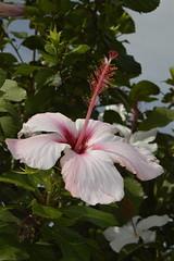 Hibiscus a Mondello (costagar51) Tags: italy italia natura sicily fiori palermo piante sicilia mondello colourartaward flickrsicilia