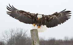 Bald Eagle XXVII (martinaschneider) Tags: winter snow ontario bird eagle baldeagle raptor birdsofprey canadianraptorconservancy