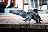 All I want is a cuddle (tootdood) Tags: street manchester market pigeons cuddle canon70d