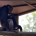 """Chimpansee • <a style=""""font-size:0.8em;"""" href=""""http://www.flickr.com/photos/128593753@N06/16351073837/"""" target=""""_blank"""">View on Flickr</a>"""