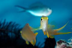 Damselfish portrait (Luko GR) Tags: portrait fish coral closeup underwater philippines bluewater diving reef visayas alona damselfish