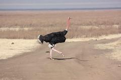 Ostrich Strut