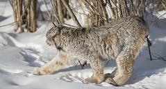 Lynx-5 (Dan Newcomb Photography) Tags: snow columbia british northern lynx
