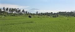 Bali Mountain (NikolaiTF) Tags: bali mountain tree canon 50mm rice palm fields 6d kintamani