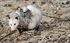 Possum Momma (Plummerhill) Tags: cornfield babies mother indiana johnsoncounty bargersville possomopossum