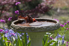 Face First in the Shallow End (brucetopher) Tags: pink flowers blue red male green bird wet water birds swim bath freestyle birdbath colorful cardinal free spray soak bathing splash soaking splashing capecodbird newenglandbird