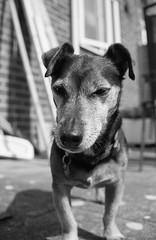 Dopey (DanRSmith) Tags: blackandwhite bw dog monochrome terrier jackrussell rodinal russ foma fomapan100 eos500
