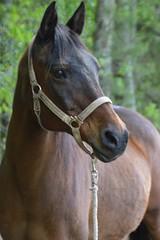Endurance Arabian (Sapphire Dream Photography) Tags: brown bay headshot arab bo arabian endurance halter alert trrail