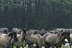 Mustangs and Wild Horses - 2016-0018_Web (berni.radke) Tags: horse pony mustang pferd nordrheinwestfalen colt wildhorse foal fohlen croy herde dlmen feralhorses wildpferdebahn merfelderbruch merfeld przewalskipferd wildpferd dlmenerwildpferd equusferus wildpferdefang dlmenerpferd dlmenpony herzogvoncroy wildhorsetrack
