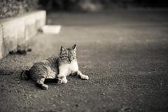 (23fumi) Tags: bw monochrome cat nikon dof bokeh cosina voigtlander  58mm nokton d600     nokton58mm voigtlandernokton58mmf14slii