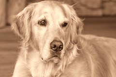 Pure Gold (Exdeltalady) Tags: golden canine retriever mansbestfriend goldens topaz 70300 canon7d