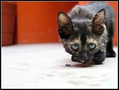 Gatita en Adopcion (MaPeV) Tags: cats canon chats chat tabby kitty gatos powershot gato kawaii calico tricolor neko katze gatti carey felin gattoni gattini g16 morisco tabbyspoted conchadetortuga