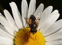 Van de bloemetjes en de bijtjes..... (The flowers and the bees) (peeteninge) Tags: flowers white flower nature yellow insect flora outdoor natuur insects geel wit hoverfly insecten bloem zweefvlieg