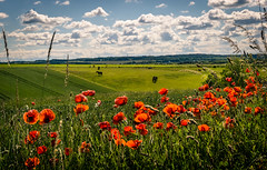 Poppies and horses (daniel_munch) Tags: light summer vacation sky horses sunlight tree green nature beautiful field grass animals silhouette clouds forest season landscape denmark outside day background scenic sunny calm adventure environment scandinavia backpacker discovery magical idyllic