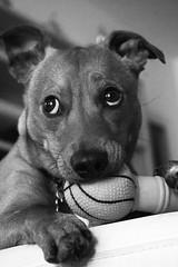 Sara Sangermano (PhotoTeam FORUM Roma) Tags: blackandwhite bw dog white playing black game cute animal ball puppy photography photo eyes play little doggy bwphotography phototeamforumroma