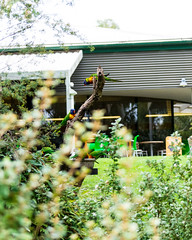 20160327-131741_AdelaideNationals2016_D7100_2158.jpg (Foster's Lightroom) Tags: birds au australia adelaide southaustralia lorikeets zoos cleland crafters clelandwildlifepark