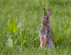 Rabbit 260516 (Gertj123) Tags: rabbit green nature netherlands grass spring eating mammals hairs