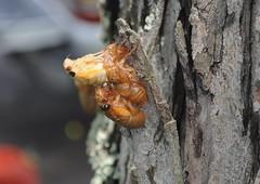Periodical Cicadas (neshachan) Tags: cicada locust 17yearcicada periodicalcicada scarybug 17yearlocust