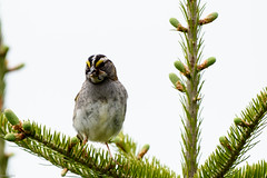 White-throated Sparrow, Cochrane Pond Road (frank.king2014) Tags: ca canada stjohns whitethroatedsparrow newfoundlandandlabrador