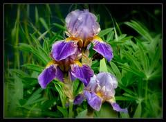 Fridays Flower Power (karin_b1966) Tags: plant flower nature garden blossom natur pflanze blume blte garten 2016 bartiris yourbestoftoday
