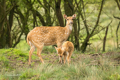 Axis Deer with fawn 710_9781.jpg (Mobile Lynn) Tags: england nature fauna mammal unitedkingdom wildlife ngc deer captive mammals axisdeer coth lympne greatphotographers specanimal axisaxis landmammals sunrays5