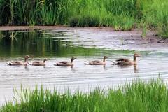 Ducks in a row..... (robin denton) Tags: nature birds geese wildlife greylag rspb leightonmoss birdreserve rspbreserve