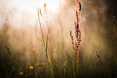 Secret garden. (jakub.sulima) Tags: world flowers light sunset red orange plants naturaleza brown sunlight mist plant black flores flower green texture nature water fleur beautiful grass sunshine yellow fog wonderful garden outside 50mm gold golden evening countryside droplets drops spring twilight flora nikon europa pretty colours blossom bokeh outdoor magic natur may meadow poland sunny polish bloom serene moment splash nikkor f18 glade d3200 bokehlicious