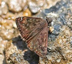 CAC039088a (jerryoldenettel) Tags: insect skipper mo fen natureconservancy 2016 hesperiidae buttterfly duskywing pyrginae juvenalsduskywing erynnisjuvenalis erynnis shannonco shutinmountain