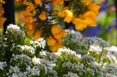 Flowers (NikWatt) Tags: macro lens edinburgh handheld 105mm a580 nikwatt windowslivephoto edinburghphotographerssigma lenssigmasonysony a580greatscotsgreatcolorscotlandthe braidspolarizedsunnysigma lenssigmasony greatscotsgreatcolorsscotland