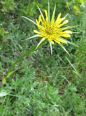 On the Waterfall Canyon Trail found a wild goatsbeard wildflower. (chickadee23) Tags: flowers wild mountains utah hiking trails views wildflowers benlomond ogden goatsbeard waterfallcanyontrail