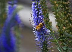 Bee# (mheidelberger2000) Tags: flowers blue summer flower nature garden insect midwest dof indiana sage bee salvia heirloom pollen honeybee pollinator